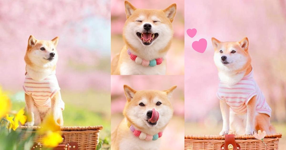 櫻花下的可愛柴犬!跟著主人去賞櫻!甜笑、撒嬌模