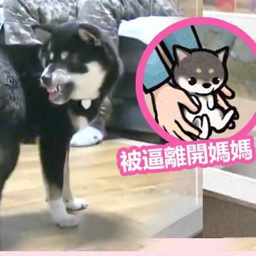 黑柴咬尾巴自虐!主人心痛求助韓節目 揭幼犬購自寵物店為心理病因
